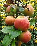 Apfelbaum, Goldparmäne, Säulenobst, Kernobst, Apfel gelb, 80-100 cm, im Topf, mit Dünger, Malus domestica, Obstbaum winterhart, EVRGREEN