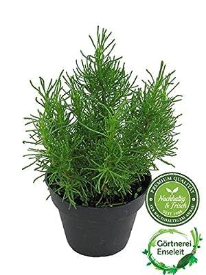 Olivenkraut - Olivenstrauch - Santolina viridis von Weseler Kräuterparadies bei Du und dein Garten