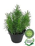 Olivenkraut - Olivenstrauch - Santolina viridis