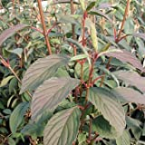 Viburnum bodnantense 'Dawn' - (Winter-Schneeball 'Dawn')- Containerware 40-60 cm