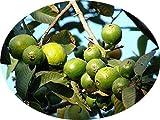 Echte Guave Psidium guajava Guava Rarität essbare süße Früchte Pflanze 10cm
