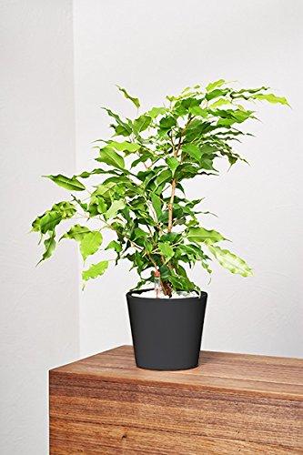 EVRGREEN Birkenfeige | Ficus Benjamini | Zimmerpflanze in Hydrokultur | im Set inkl. Keramiktopf (anthrazit/schwarz) | ficus benjamina reginald