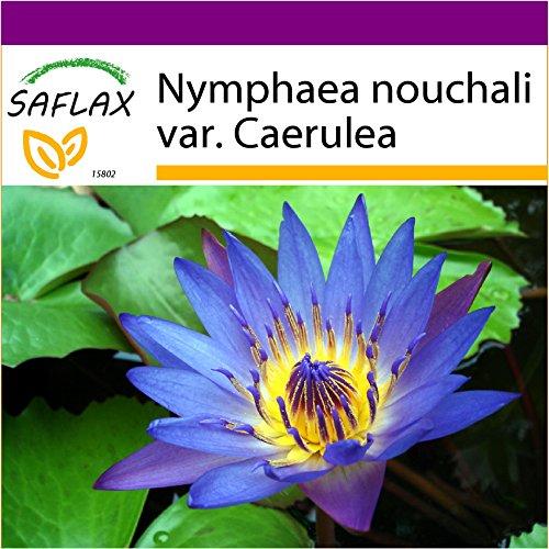 SAFLAX - Big Garden - Wasserpflanzen - Blaue Seerose - 15 Samen - Nymphaea nouchali var. Caerulea (Tropische Seerosen)