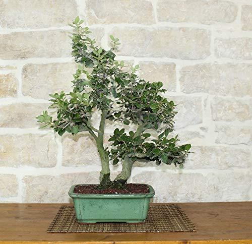 bonsai di quercia - leccio (25)
