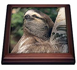 3dRose trv_87216_1 Three Toed Sloth Wildlife Costa Rica SA22 KSC0126 Kevin Schafer Trivet with Ceramic Tile, 8 x 8, Natural