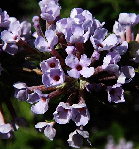 Hänge Sommerflieder Schmetterlingsflieder violette Blüte Buddleja Alternifolia Containerware 40-60 cm