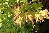 Japanisch Ahorn Acer palmatum 'Orange Dream' Baum 10+ Seeds
