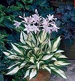 Sementes Blumensamen Funkien Samen Fire und Ice Schatten Mehrjährige Pflanzen Wegerich Blume Bonsai Garten