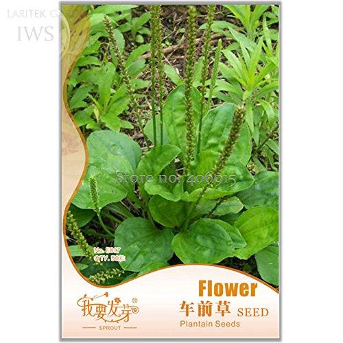 Graines Plantain Perennial Semen Plantaginis Bonsai, emballage d'origine, 50 graines, des graines médicinales de haute valeur IWSE017