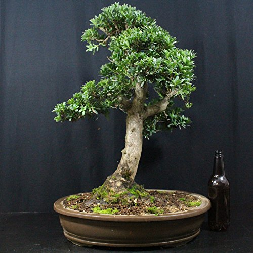 Steineibe, Podocarpus macrophyllus, 30 Jahre, Höhe 55 cm