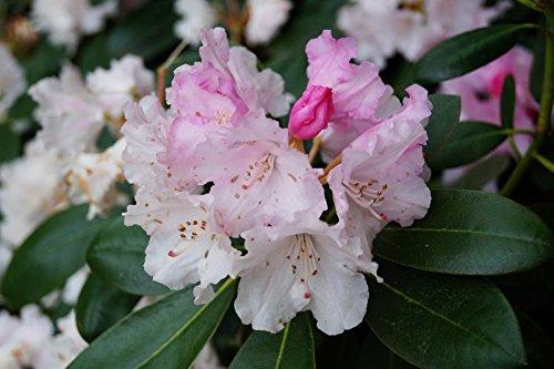 Rhododendron Silberwolke Rhododendron yakushimanum Silberwolke Containerware 30-40 cm