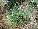 Washington Palme (Washingtonia filifera) 100 frische Samen (Winterharte Palme)