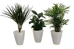 Pflanzenservice 891746 African-set, Dracena Marginata, Kaffee-pflanze Mit Zimmerpalme Und Dekotopf, Weiß