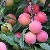 Ncient 10 Semi Sementi di Semi di Frutta Albero da Prugna Plum Fruit Seeds Semi di Frutta Rara Profumati per Orto Giardino Balcone Interni ed Esterni