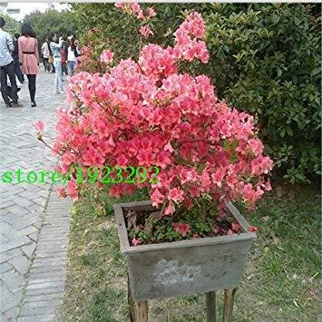 100 pcs / sac de vente chaud rose et jaune Plum Seeds graines de fleurs pour le jardin de la maison DIY