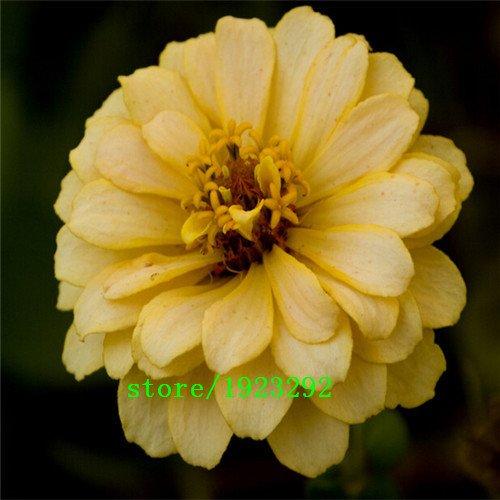 graines petite fleur Zinnia couleur mixte, environ 100 pcs bonsaï en pot de fleurs bricolage maison de jardin, culture facile