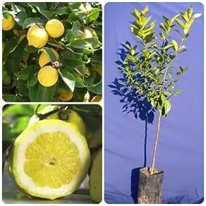 Albero piante pianta di limone 4 stagioni in fitocella h for Pianta limone 4 stagioni