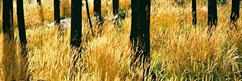 Panoramic-Images--Dry-autumn-grasses-turn-a-yellow-hue-in-a-stand-of-burned-Lodgepole-pines-Buffalo-Valley-Wyoming-USA-Kunstdruck-1524-x-4572-cm