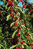 Panoramic Images – Cherries to be harvested Cucuron Vaucluse Provence-Alpes-Cote d'Azur France Photo Print (60,96 x 91,44 cm)