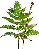Dryopteris erythrosora - Rotschleierfarn - verschiedene Größen (40-60cm - 1,7 Ltr.)