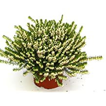 Erica darleyensis - winterharte Erika weiß im 12 cm Topf