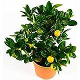 BOTANICLY | Plantes vertes d intérieur – Calamondin ou oranger d'appartement | Hauteur: 35 cm | Citrus Microcarpa