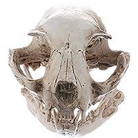 Gazechimp Resina Modelo de Cráneo de Gato Reproducción Médico Enseñanza Esqueleto Coleccionable Ideal para Decoración