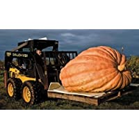 PinkdoseCalabaza gigante atlántica 5 semillas Calabaza más grande del mundo no GMO CombSH F35