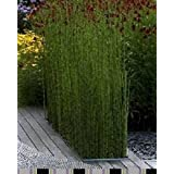 Enormes 80 semillas / pack pubescens Giant Phyllostachys MOSO semillas de bambú Hardy -Giant 6