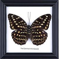 The Common Archduke Butterfly-Farfalla Taxidermy Cornice portafoto, 30,5 x 30,5 cm, cornice da parete