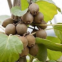 Kiwi Pflanze Sorte Jenny selbstbefruchtend und winterhart, kräftige Pflanzen im Topf gewachsen ca. 60-100cm
