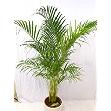 palmenlager goldfruchtpalme 170 190 cm areca palme zimmerpflanze zimmerpalme