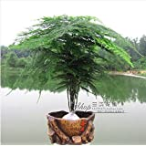 Seeds30pcs la alta calidad de semillas de bambú en maceta de plantas bonsai semillas de flores tasa de germinación de las semillas olla interior / exterior del 95% D053
