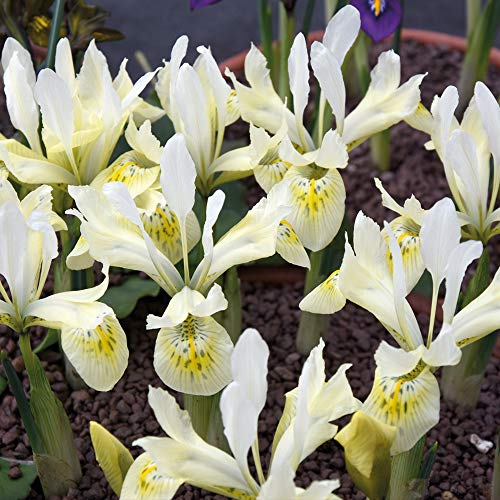 Iris Hardy Flower Bulb Exotic Looking Outdoor Plant with White and Yellow Petals 20 x Iris Katharine/'s Gold Bulbs by Thompson and Morgan Blooms in Early Spring