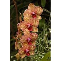 Visa Store NF564xT4: 2018 Nouveautés !!24 tipos de fondos de floración de orquídeas Phalaenopsis pour votre choix - (Couleur NF564xT4)