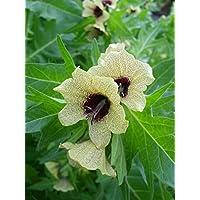 Asklepios-seeds® - 10000 Semillas de Hyoscyamus niger Beleño negro, hierba loca