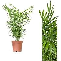 Inter Flor - 1 Pedazo de montaña Palma 60cm Chamaedorea elegans Arecaceae - Arecaceae