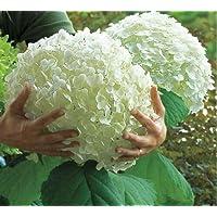 20pcs Semillas de Hortensia, Semillas de Flores Hortensia, Jardín Semillas de Flores Planta de exterior para el Hogar y Jardín Crecimiento Natural para la Plantación de Jardín,Color Blanco