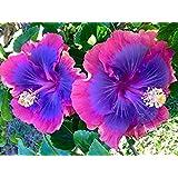 All Season Gardens Rare Chemparathi Plant Exotic Hibiscus 'Purple Queen ' 1 Healthy Live Plant