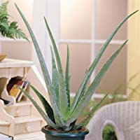 Aloe Vera Plant - 2 plants