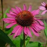 Equinacea - Echinacea purpurea - 100 Semillas - Spg