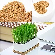 Rosepoem Semillas 800pcs gato hierba Semillas de hierba de trigo para Cat dulce avena para gatos