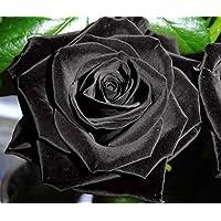 Rosa negro - 20 semillas