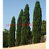semillas del árbol 100 PC Ciprés italiano (Cupressus sempervirens stricta) cultivar un huerto casero