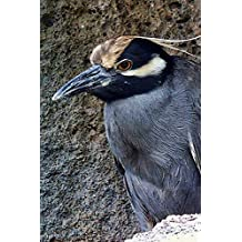 Yellow-Crowned Night Heron Bird Journal (Nyctanassa Violacea): 150 Page Lined Notebook/Diary