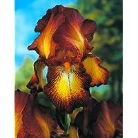Iris germanica Bronze / Iris germanica Bronce - bulbo / tubérculo / raíz