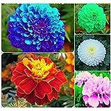 Azalea Gardens Marigold Flower Seeds Combo - Blue, Red, Pink, White, Yellow (10 Seeds Each)