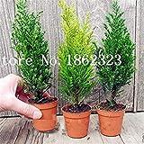 30 PCS rari Semi Cypress Trees, conifera Cypress Semi, sempreverde Paesaggio vegetale, Semi 100% Veri Pianta in Vaso per la casa Giardino: Misto