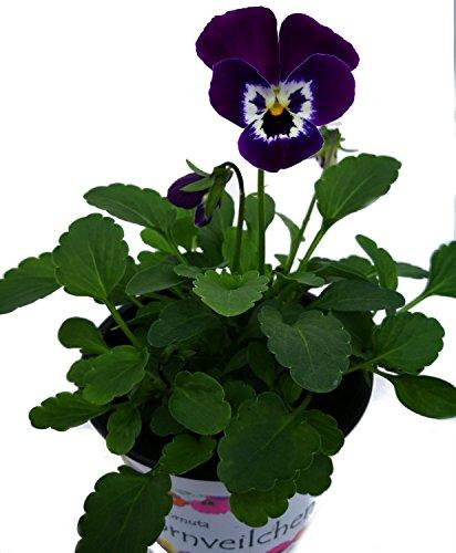 Hornveilchen (Cornuta) EVO 'Purple Face' im 3er Pack