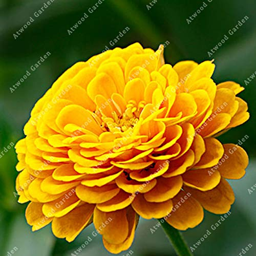 IDEA HIGH Seeds-ZLKING 200 teile/beutel Bunte Zinnia Seltene Blume Mehrjährige Blume Sementes Bonsai Topf Home Gardeing: 7